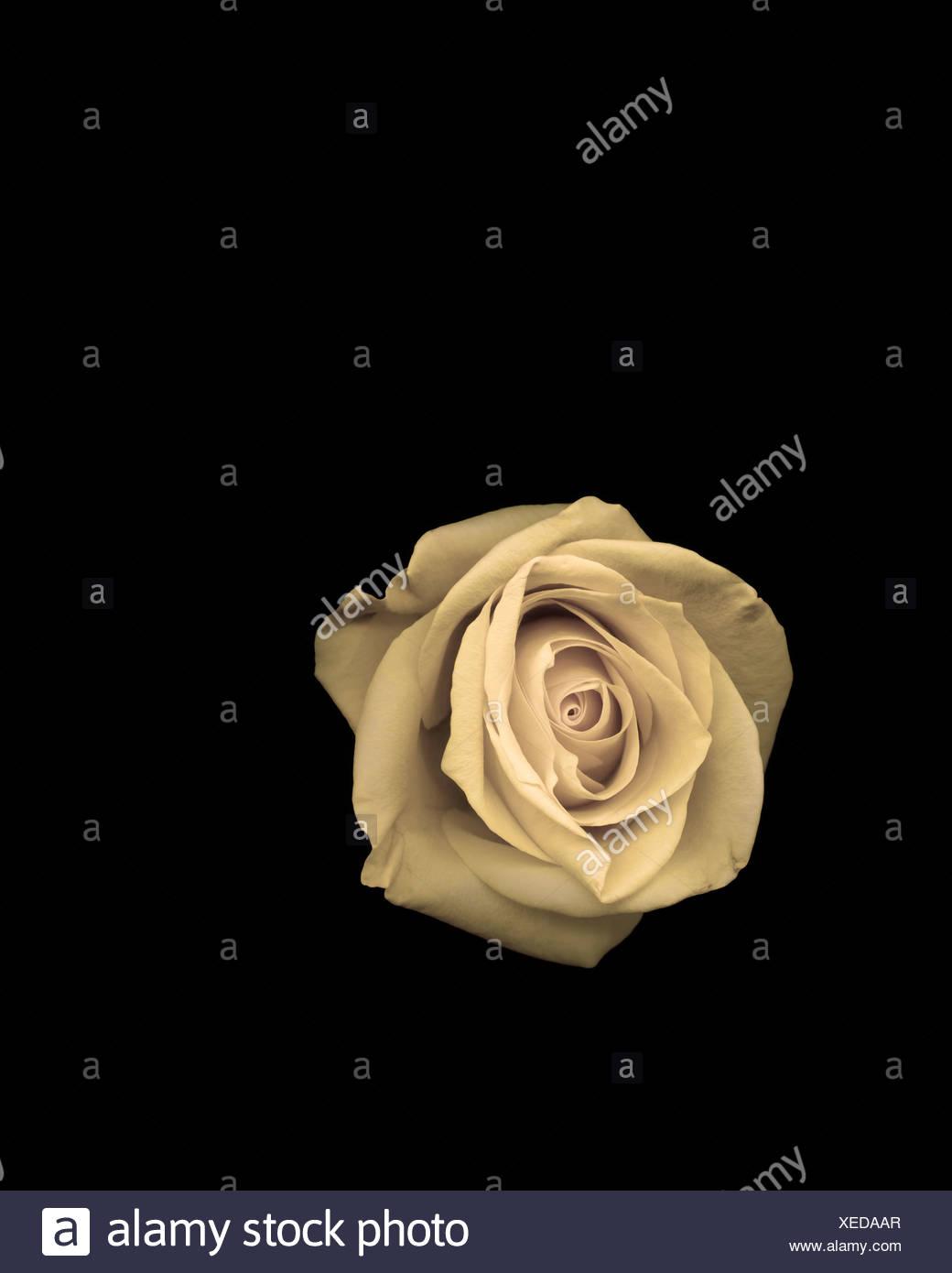 Studio shot of rose Photo Stock