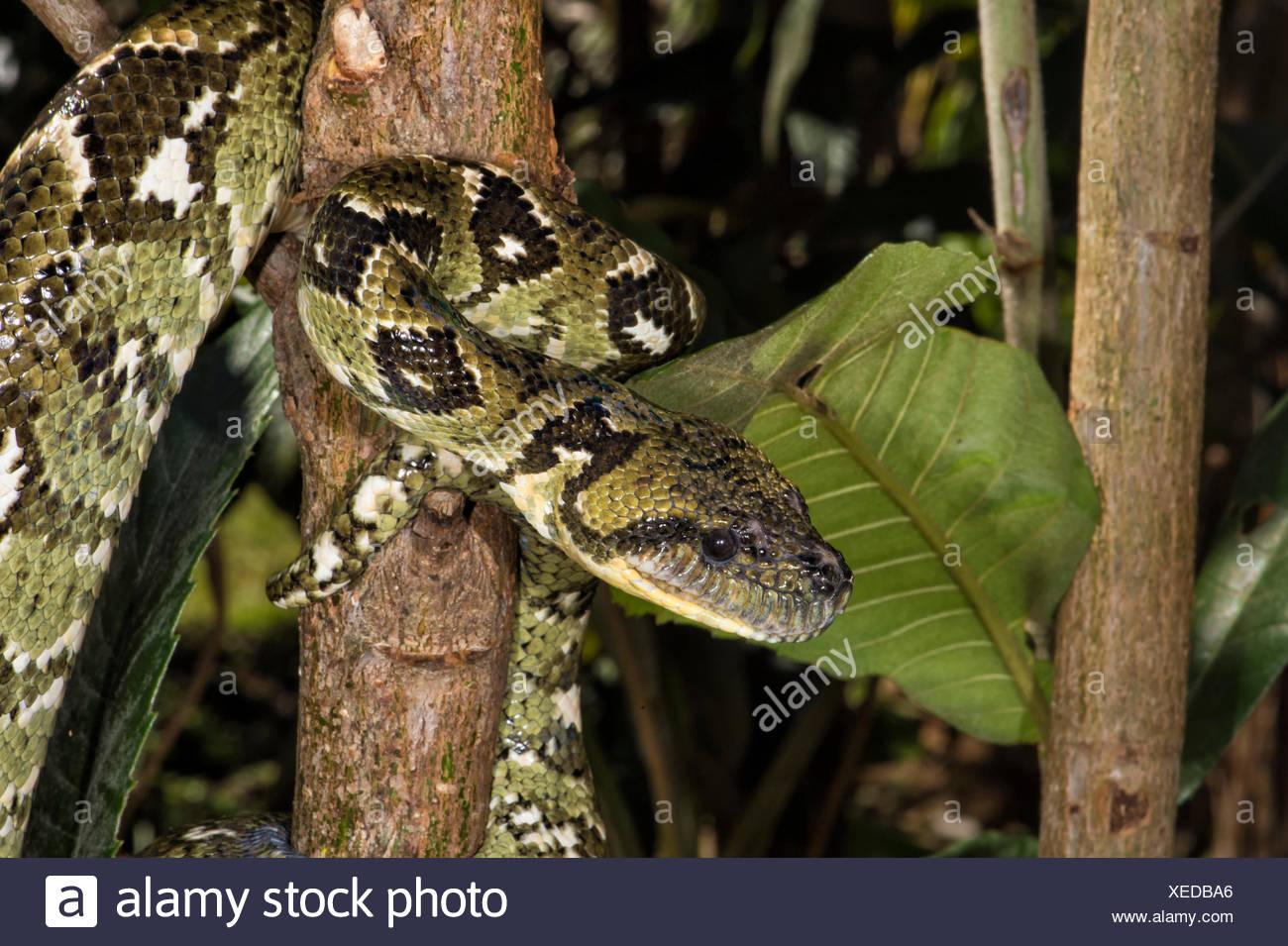 Arbre généalogique Madagascar Sanzinia madagascariensis (BOA), Madagascar Banque D'Images
