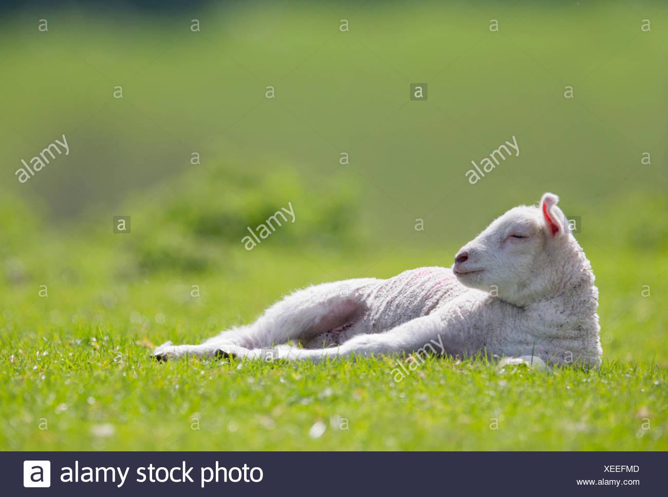 En fixant l'agneau fatigué vert champ printemps ensoleillé Photo Stock