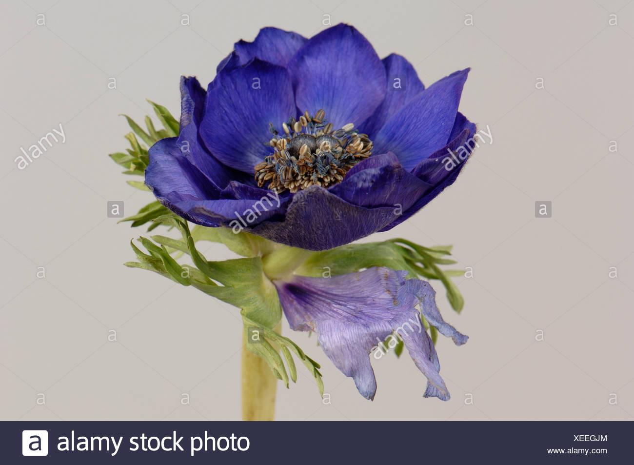 Remplacement de pétale sépale dans le calice d'une anémone coronaria fleur Photo Stock