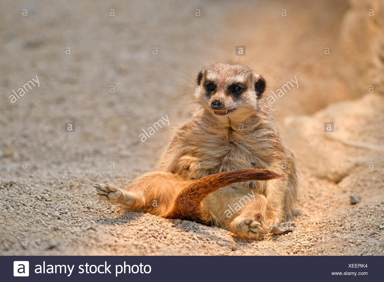 Meerkat (Suricata suricatta), progéniture, captive Photo Stock