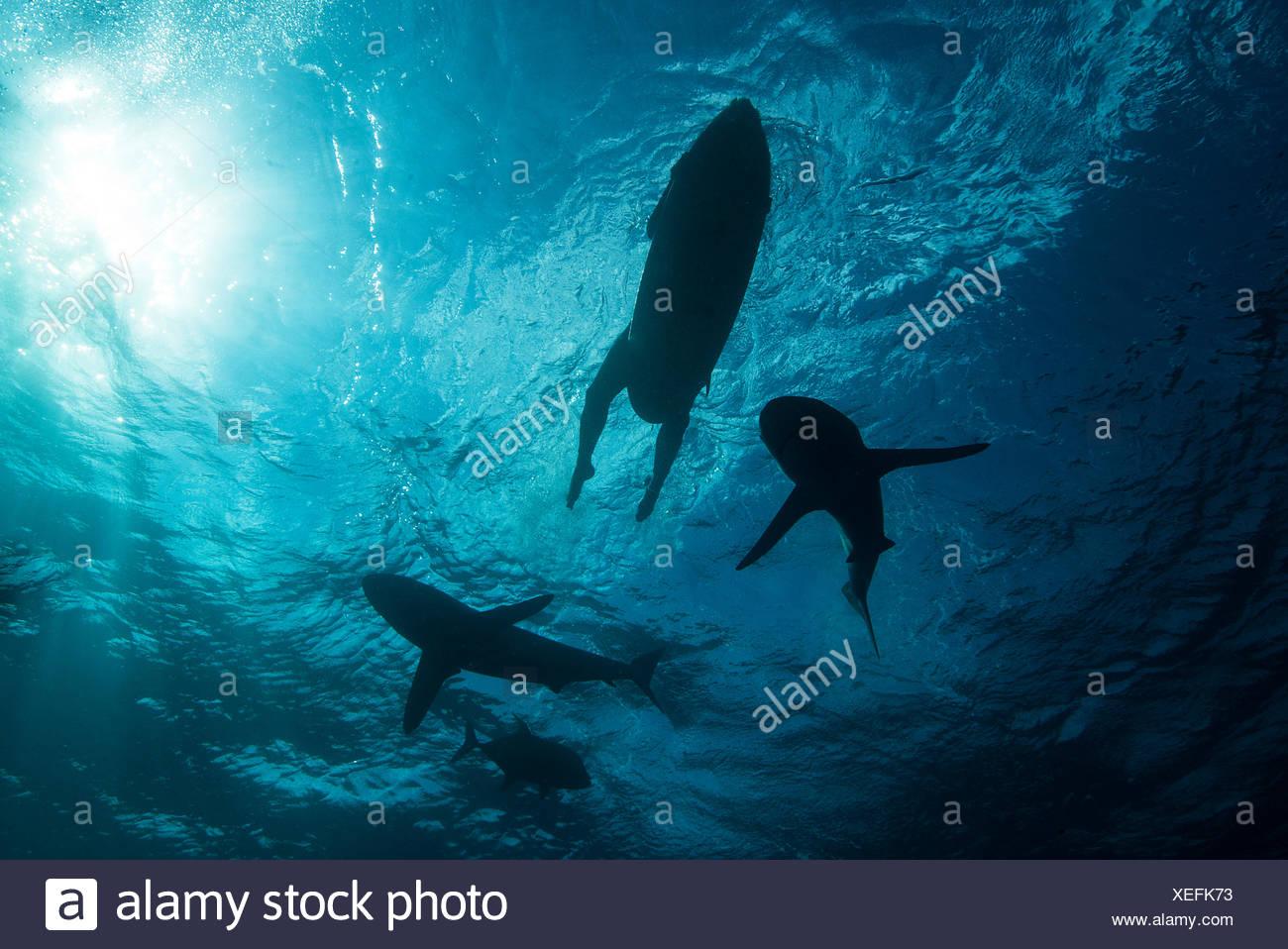 Low angle sous-vue de surfer sur une planche de surf avec les requins, Colima, Mexique Photo Stock