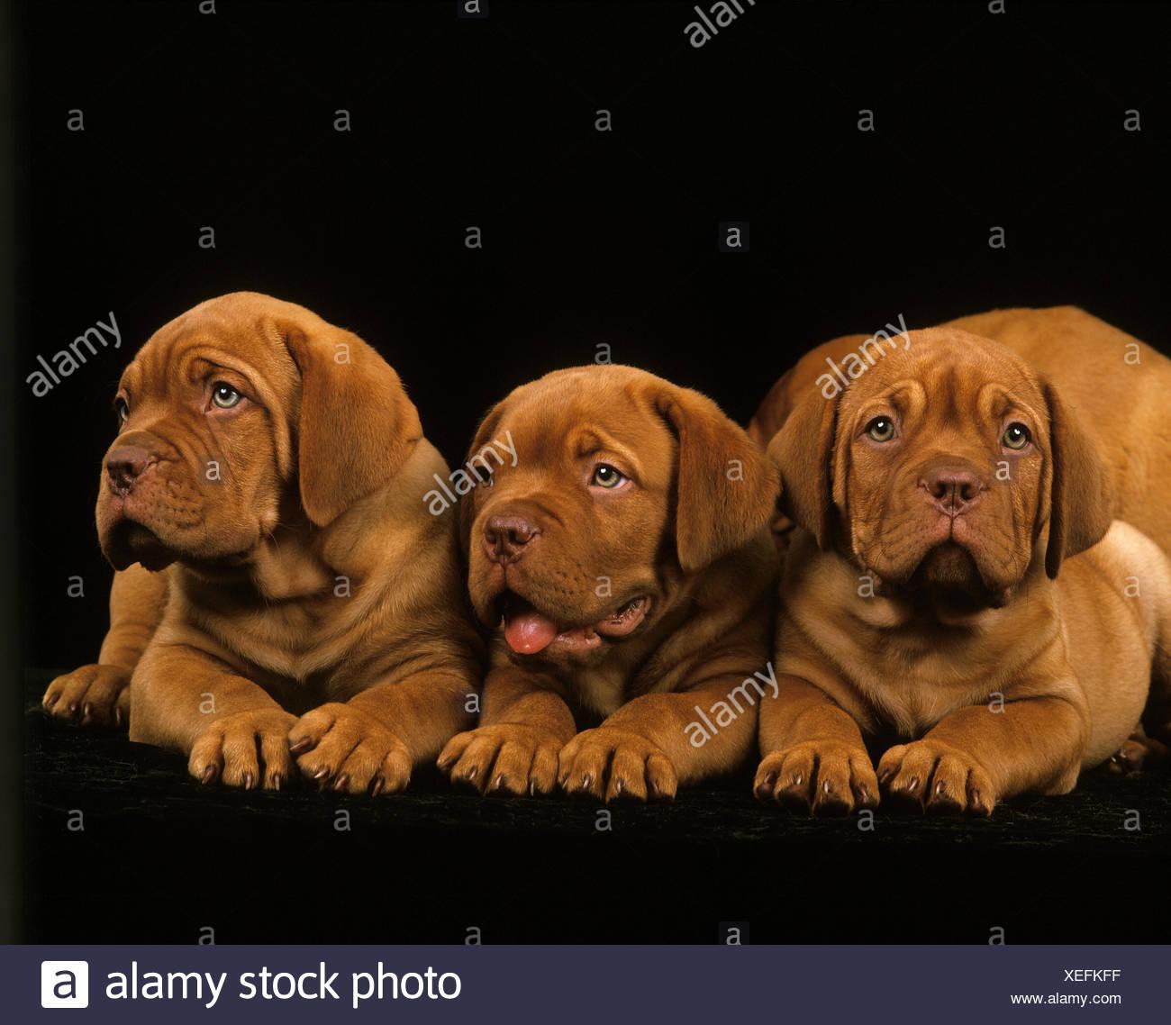 Bordeaux, chien de Mastiff chiots portant sur fond noir Banque D'Images