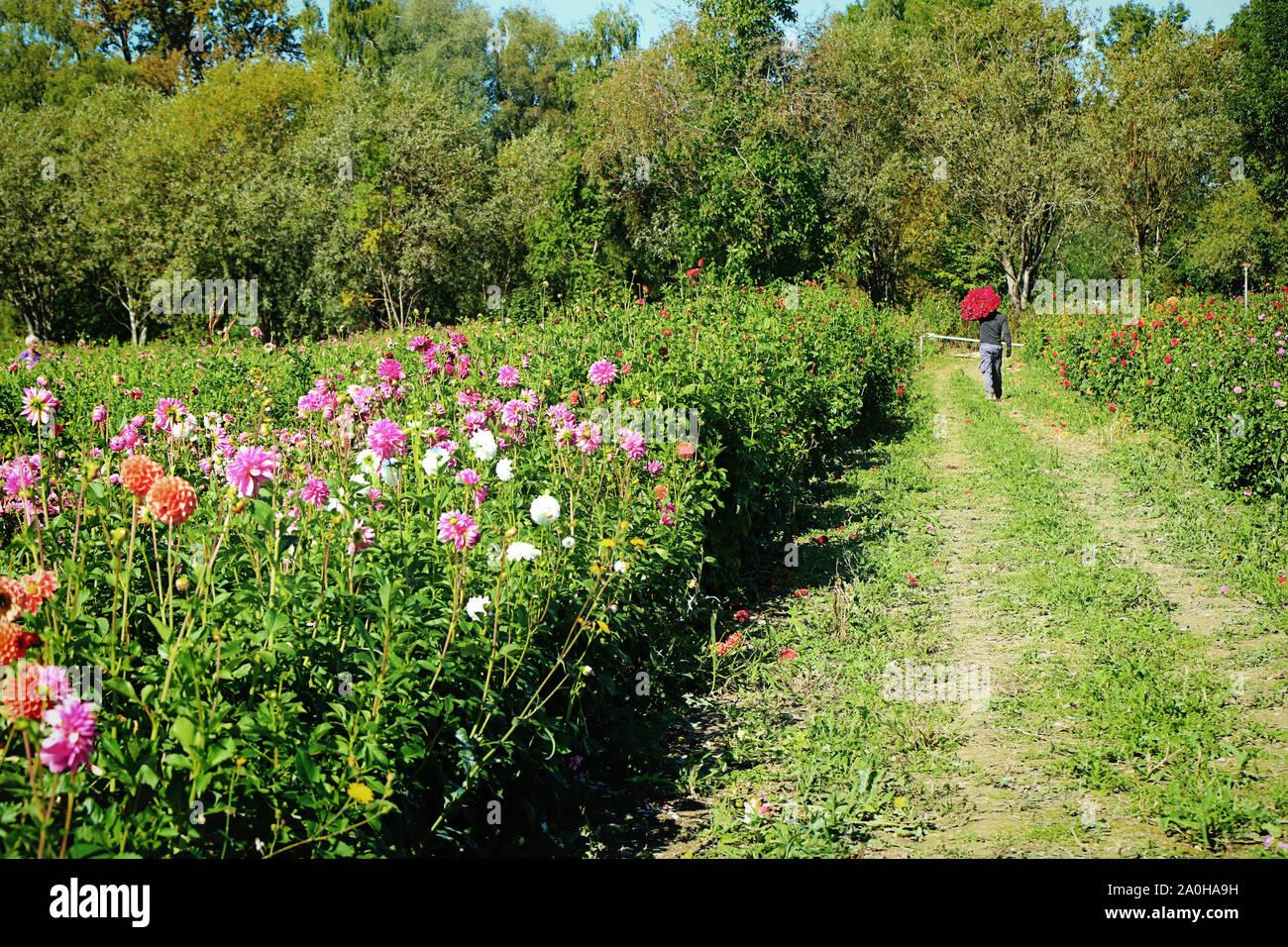 La coltivazione dei fiori in Baviera: lavoratore porta un mazzetto di dahlia tagliato e pronto per il mercato Foto Stock
