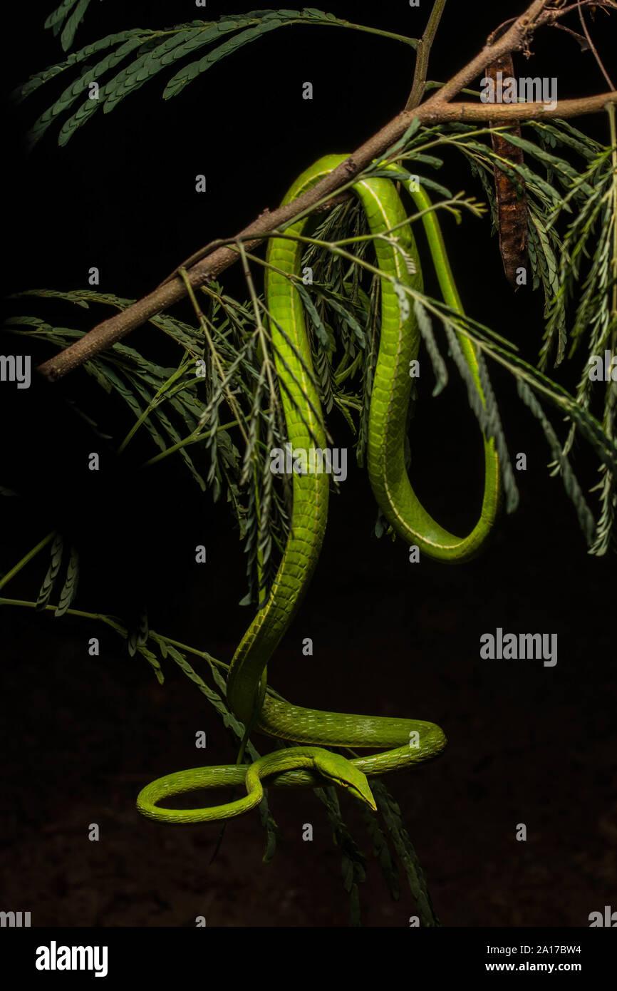 A becco lungo (Whipsnake Ahaetulla nasuta) da Prachuap Khiri Khan Provincia, Thailandia. Foto Stock