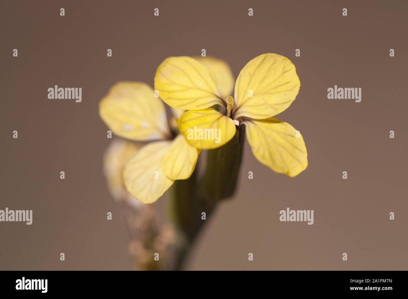 Fiori Gialli Con Quattro Petali.Quattro Petali Immagini Quattro Petali Fotos Stock Alamy
