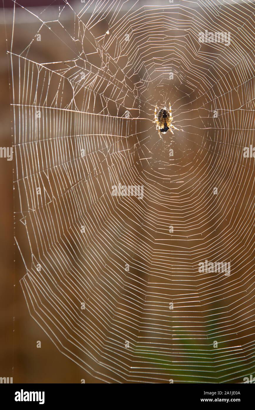 Araneus quadratus giardino spider web Foto Stock