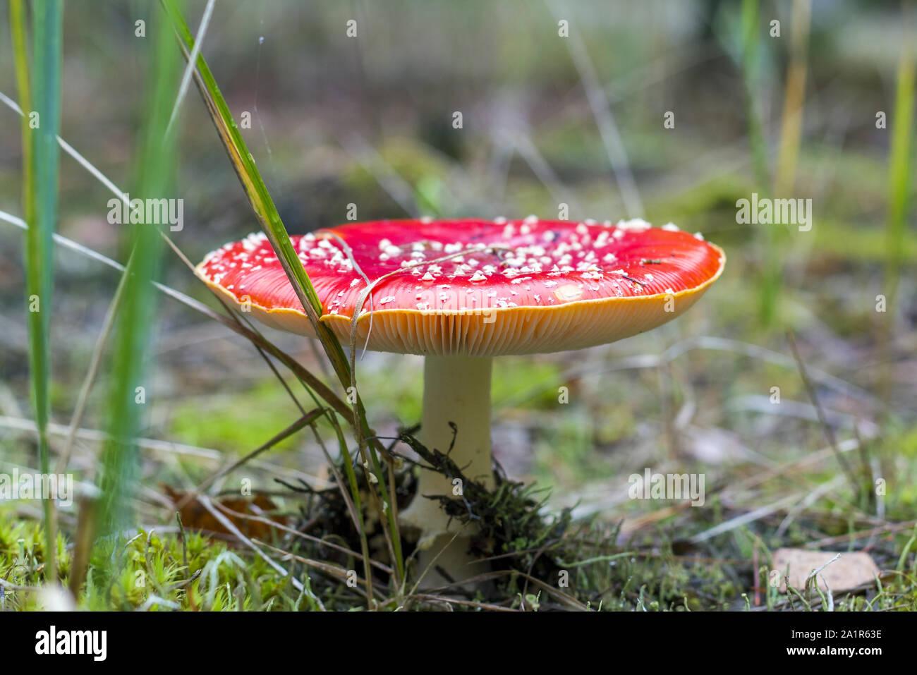 Red fly agaric crescendo in legno. Pericolo non commestibile fungo tossico Foto Stock