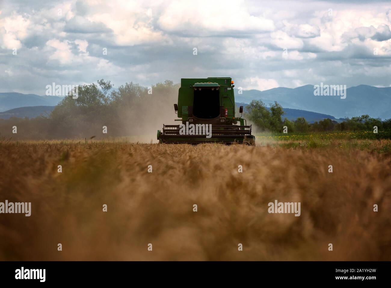 Mietitrebbia in azione sul campo di grano. La raccolta è il processo di raccolta di un raccolto maturo dai campi. Foto Stock
