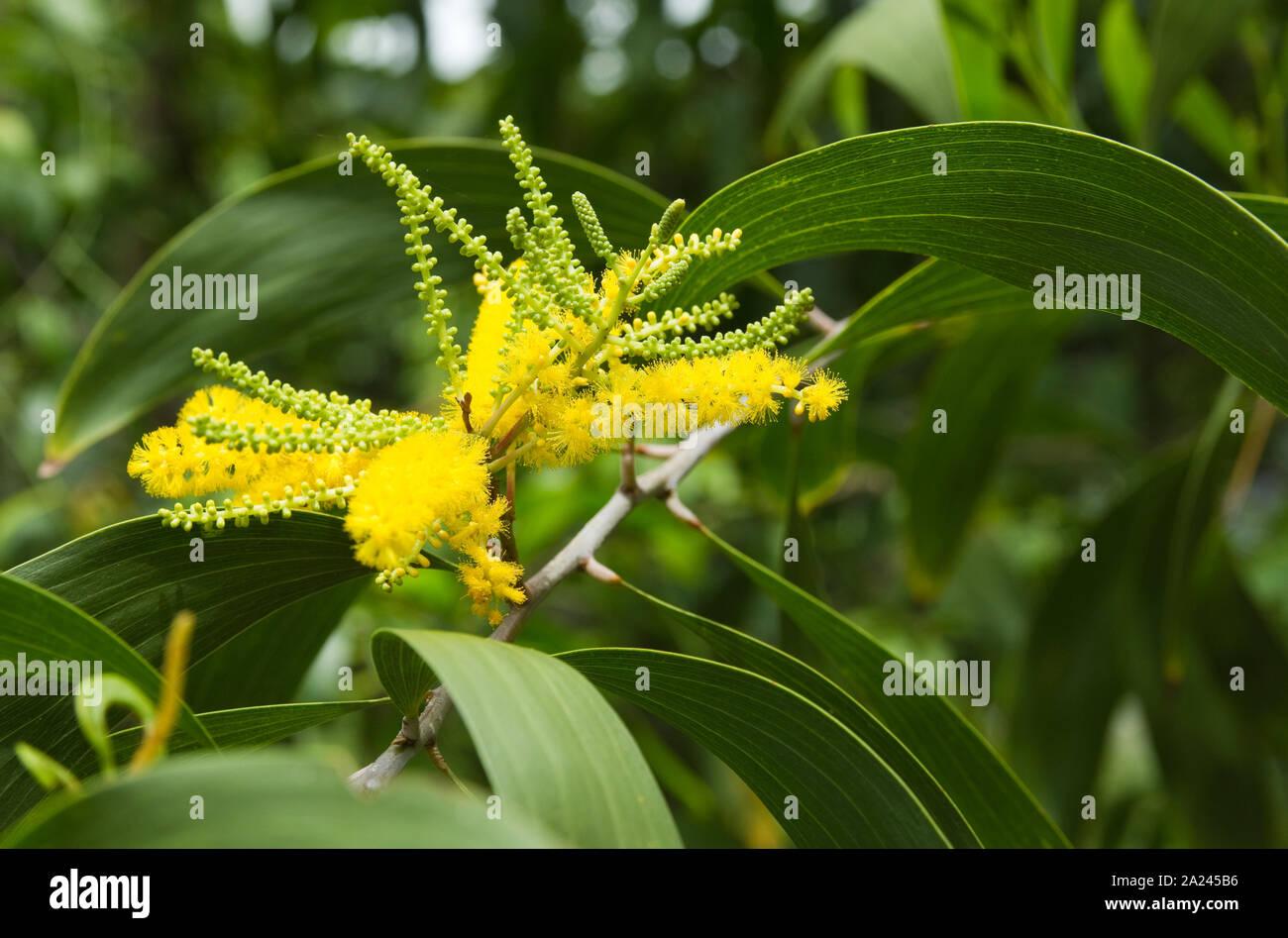 Piante Piccole Da Giardino acacie di piante da giardino immagini & acacie di piante da