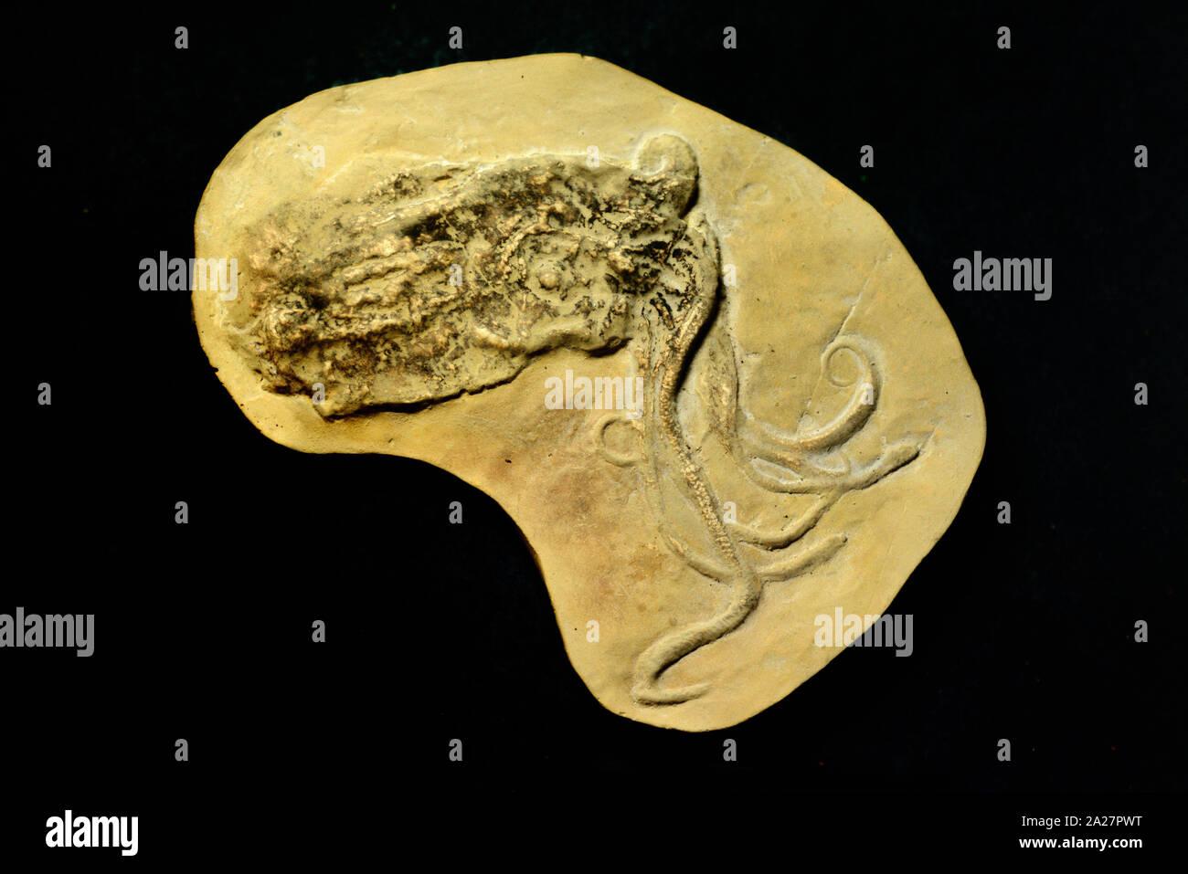 Proteroctopus ribeti fossile, un primitivo estinto Octopod o Octopus dall'era Giurassica 160MA trovati nella regione di Ardeche Francia Foto Stock
