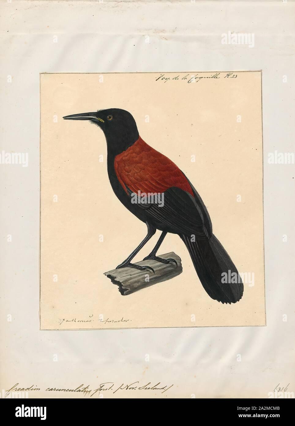 Creadion carunculatus, stampa l'Isola del Sud a doppio spiovente o tīeke (Philesturnus carunculatus) è un uccello della foresta in Nuova Zelanda wattlebird famiglia che è endemico dell'Isola del Sud della Nuova Zelanda. Sia l'Isola del nord a doppio spiovente e di questa specie sono state precedentemente considerate conspecific. Il Dipartimento di Conservazione ha attualmente l'Isola del Sud a doppio spiovente elencati come a rischio -- in calo., 1825-1839 Foto Stock