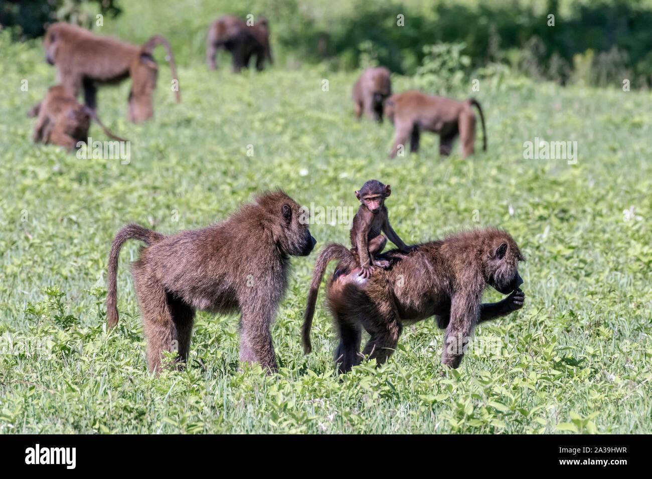 Troppo vicino per comfort, baby babbuino oliva reagisce a chiudere una grande presenza di babbuino, Cratere di Ngorongoro, Tanzania Foto Stock