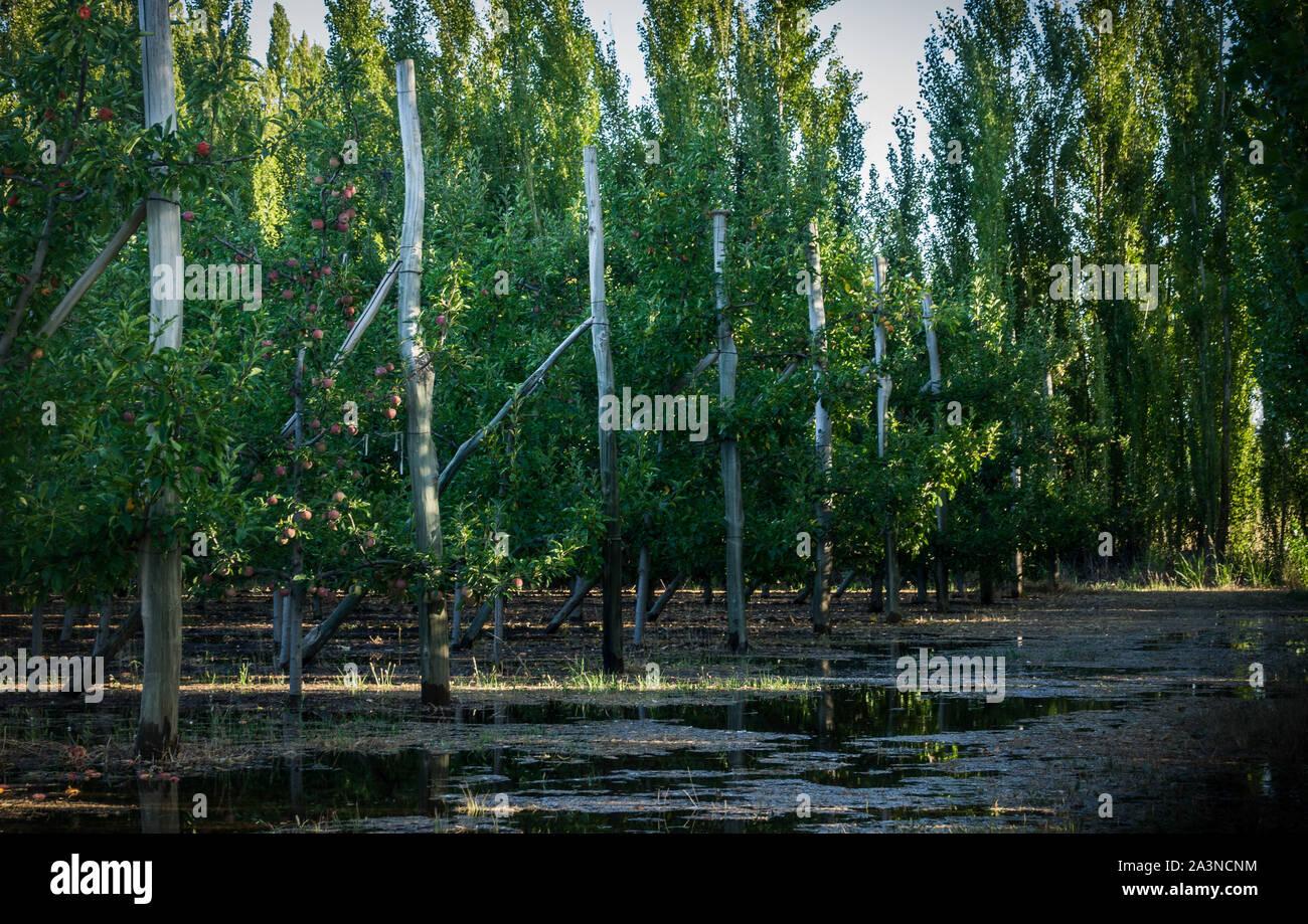 Fila di alberi di mele in una fattoria. Il terreno è pieno di acqua Foto Stock