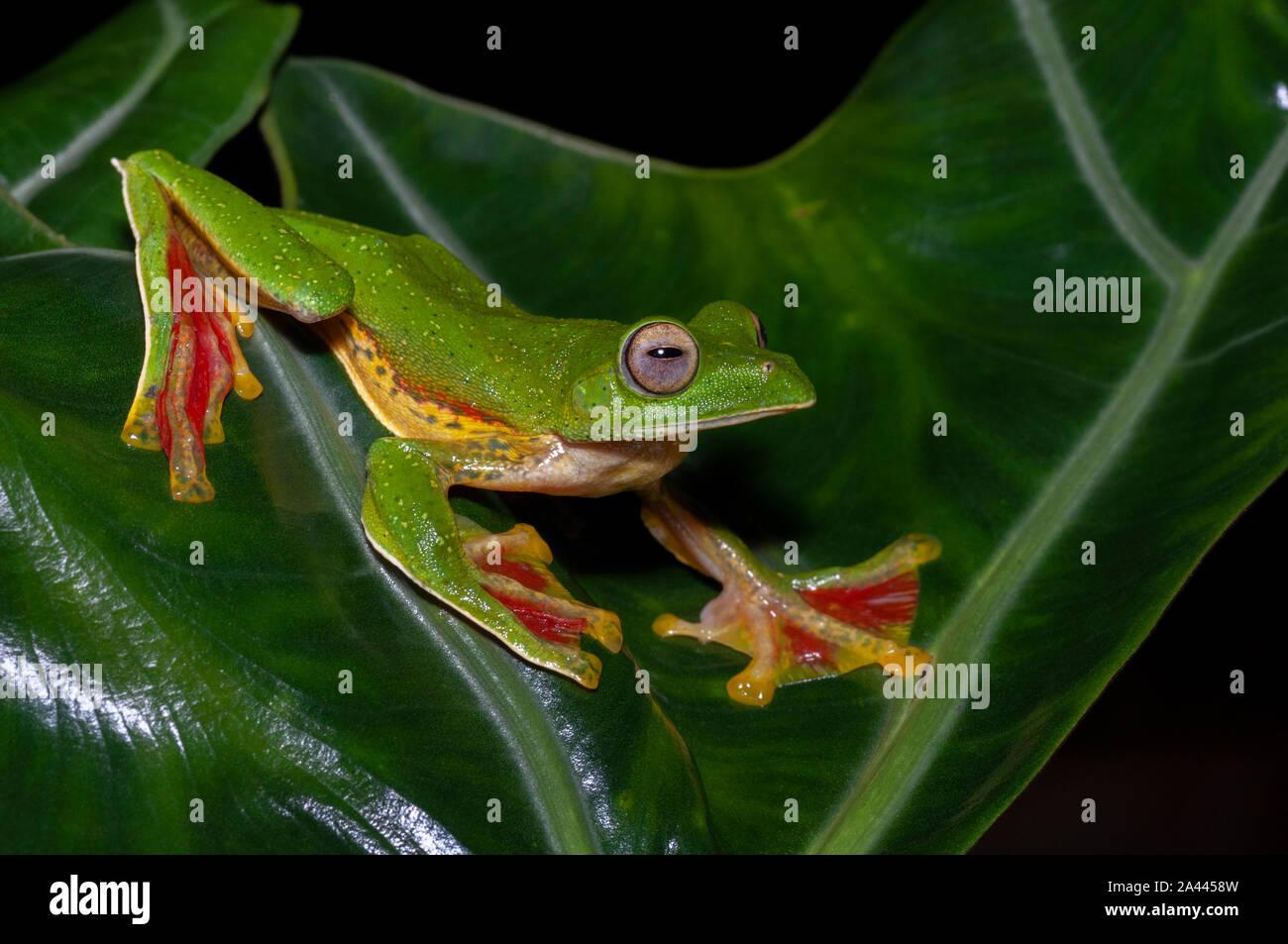 Rhacophorous Malabaricus o Malabar scorrevolezza Frog visto a Amboli,Maharashtra, India Foto Stock