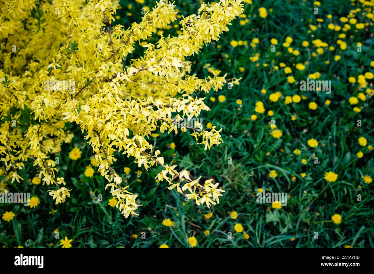 Arbusto Fiori Gialli Primaverili.Forsythia Shrub Immagini Forsythia Shrub Fotos Stock Alamy