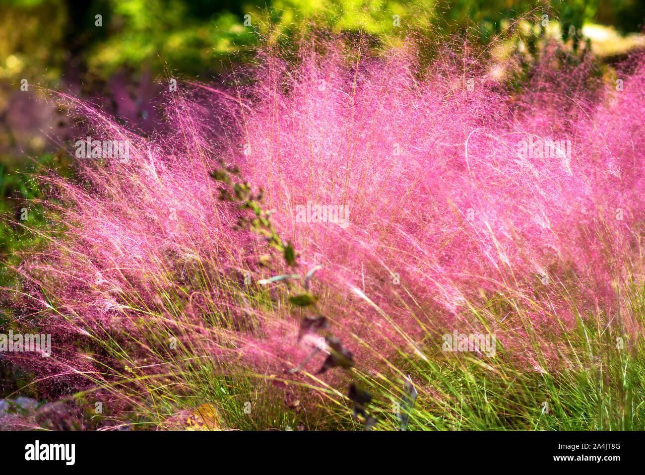 Capelli Rosa Erba-muhlenbergia CAPILLARIS