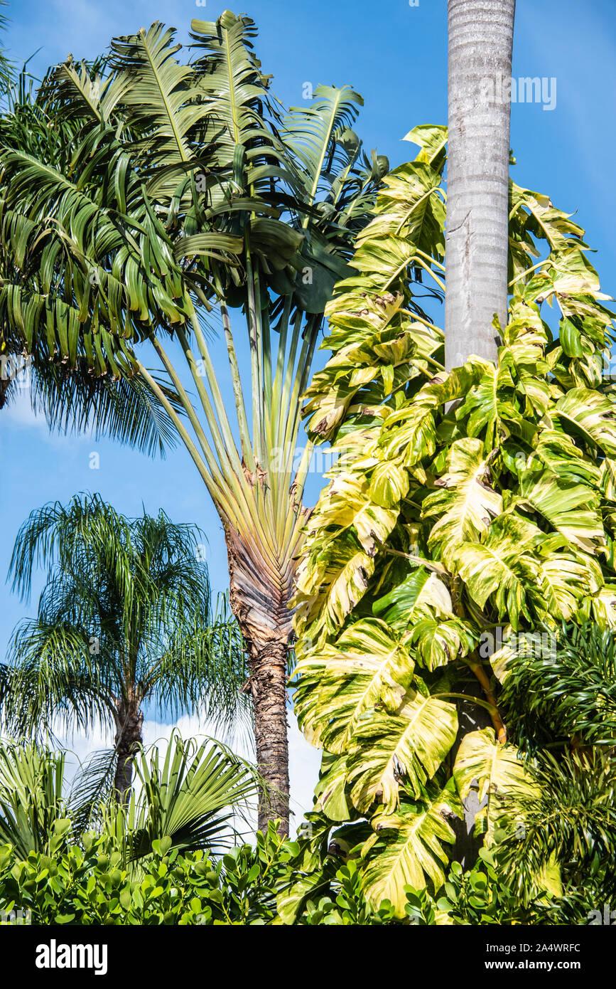 30 semi di Ravenala madagascariensis albero o palma del Viaggiatore