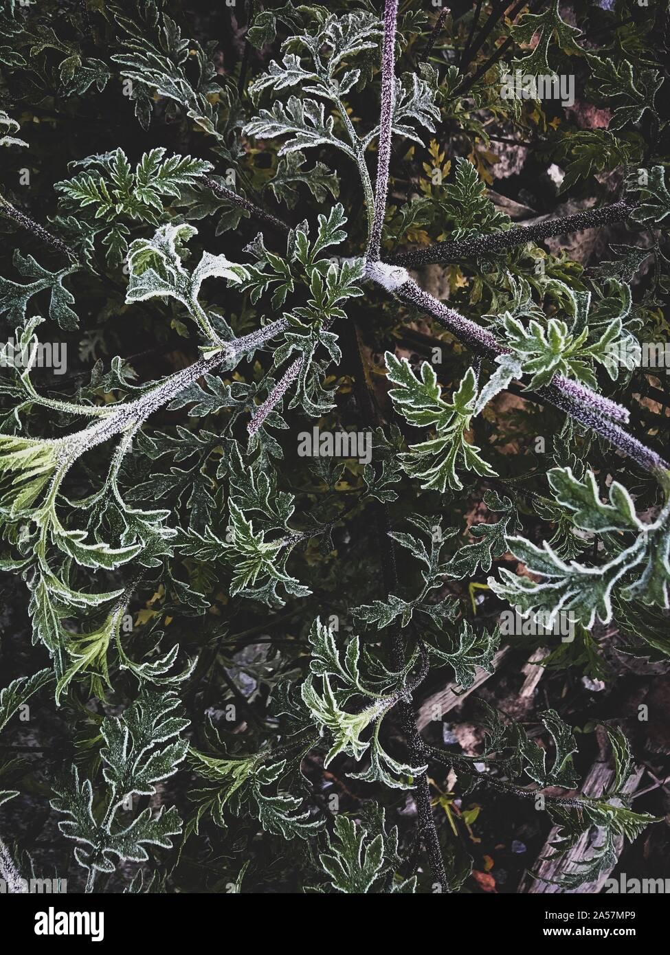 Congelati leafs all'alba d'inverno. Foto Stock