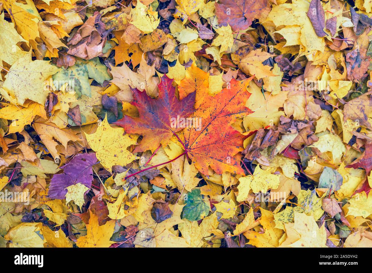 Coppia di bright caduti autunno foglie di acero sul terreno su sfondo varietà di altre foglie colorate. Stagioni, nostalgico umore Foto Stock