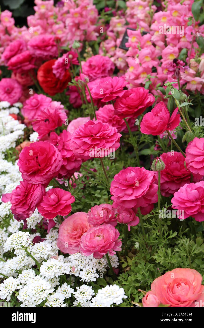 Un fiore bellissimo letto riempito con bocche di leone rosa, rosa e pesca Ranunculus e Candytuft bianco fiori in piena fioritura Foto Stock