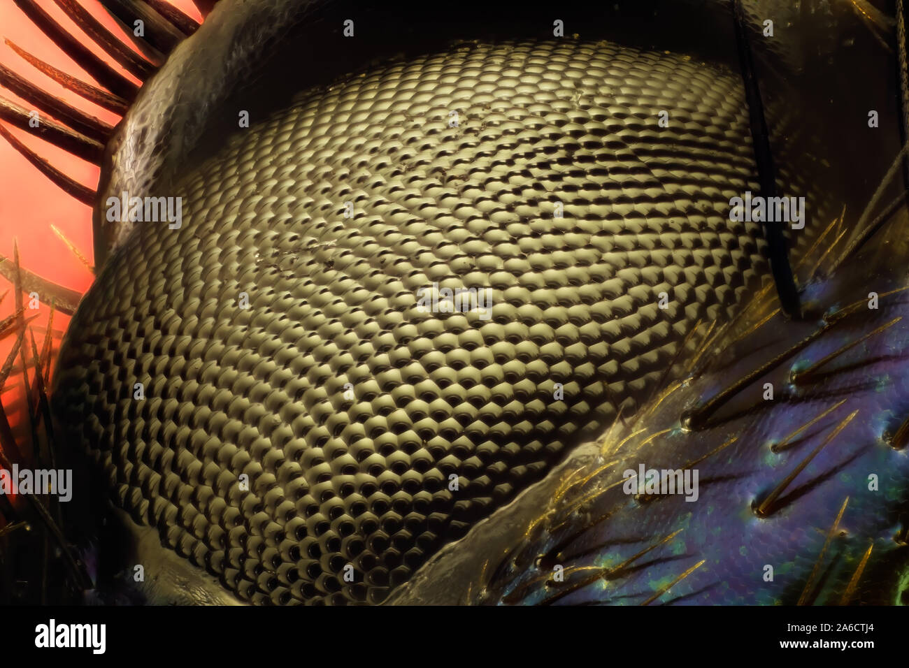Anoplotrupes stercorosus, dor beetle, è una specie di terra-noioso dung beetle. Skogstordyvel Foto Stock