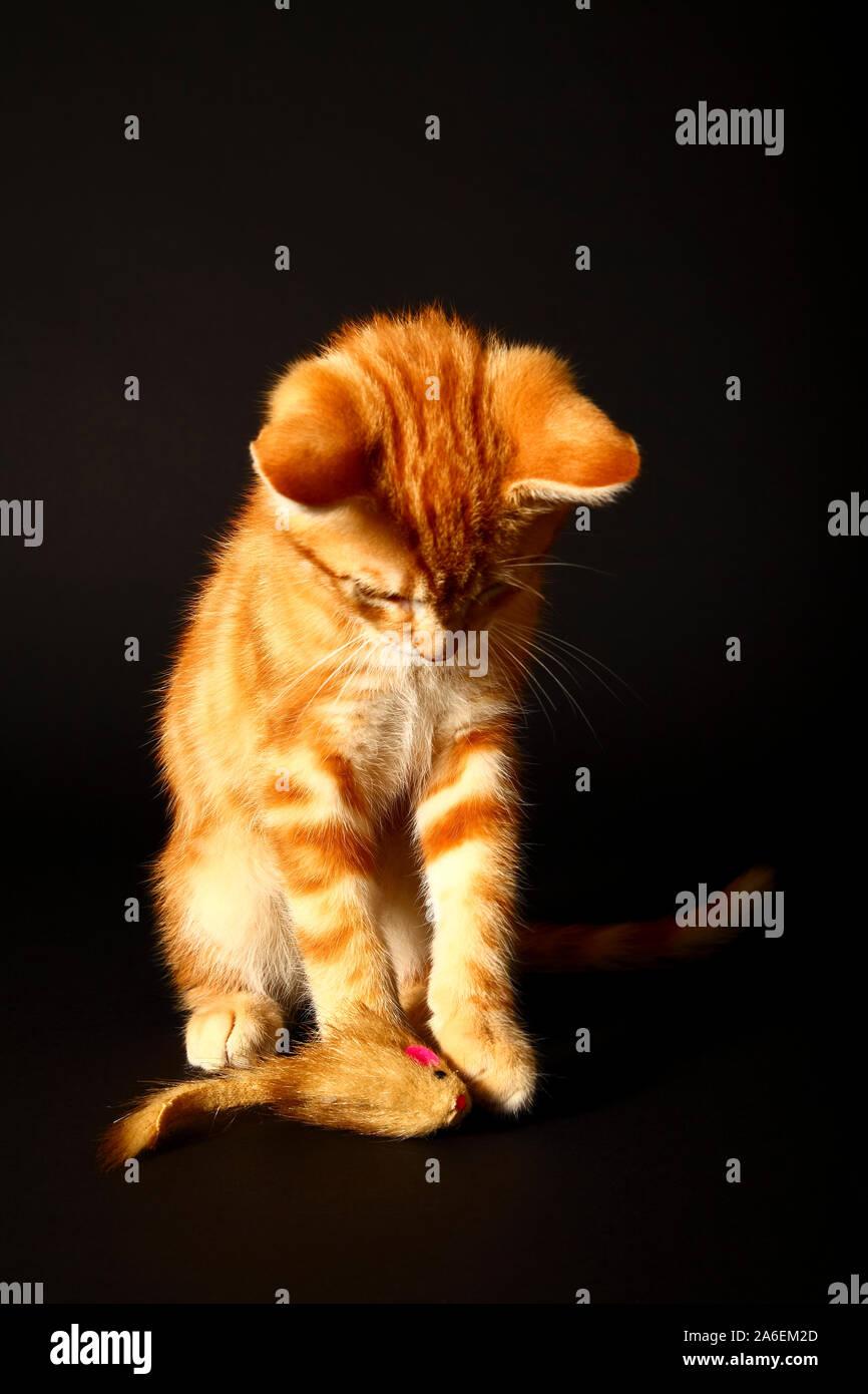 Lo zenzero sgombri tabby cat giocando con un gatto topo giocattolo isolata su uno sfondo nero Foto Stock