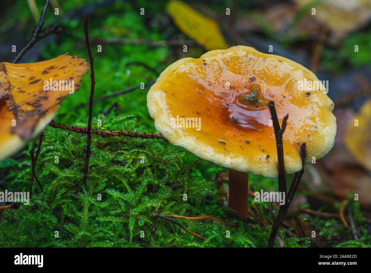 Bosco selvatico fungo cortinarius delibutus catturato in Lituania la foresta, l'Europa. Foto Stock
