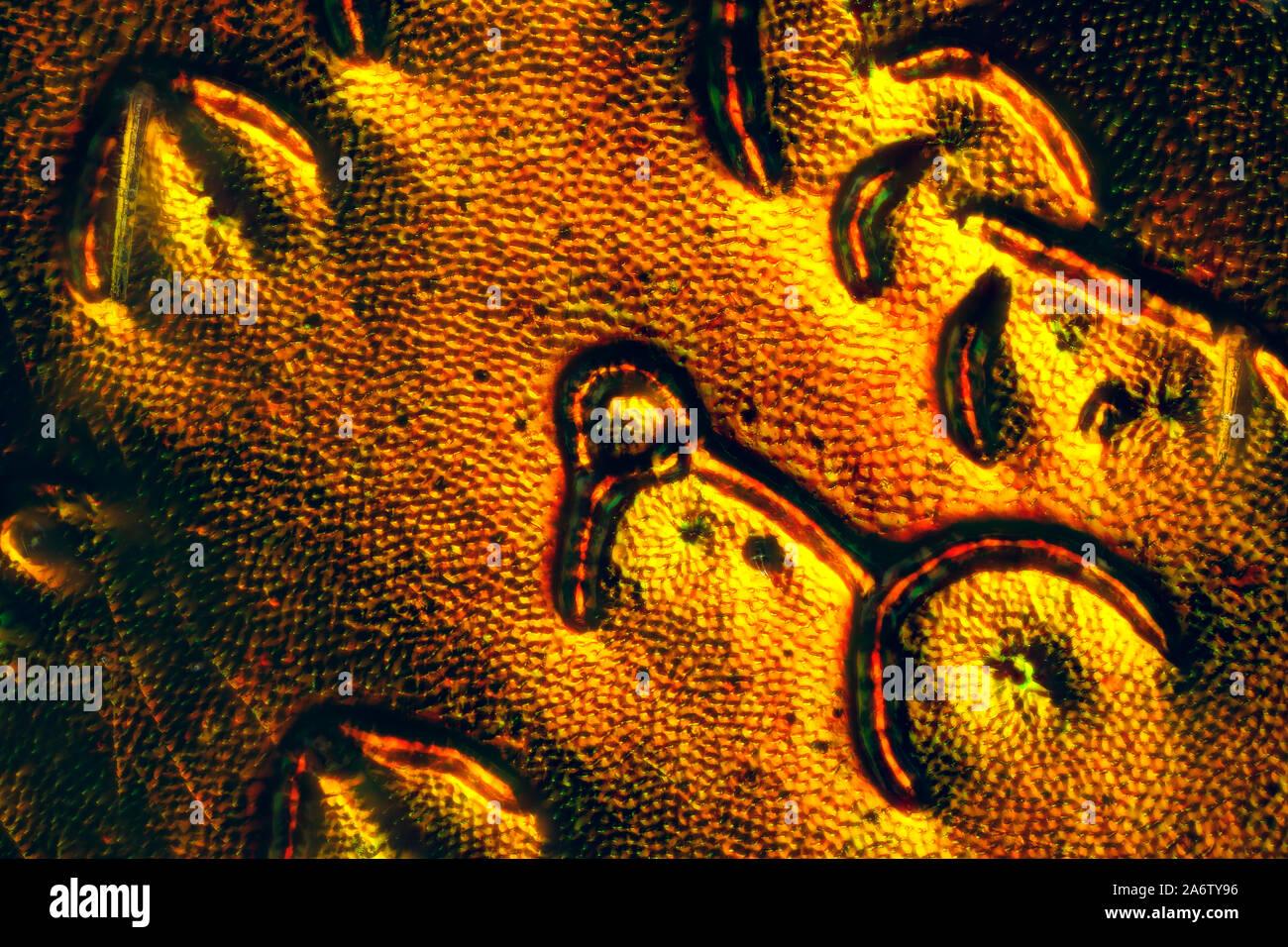 Rose chafer, Cetonia aurata, Guldbagge Foto Stock