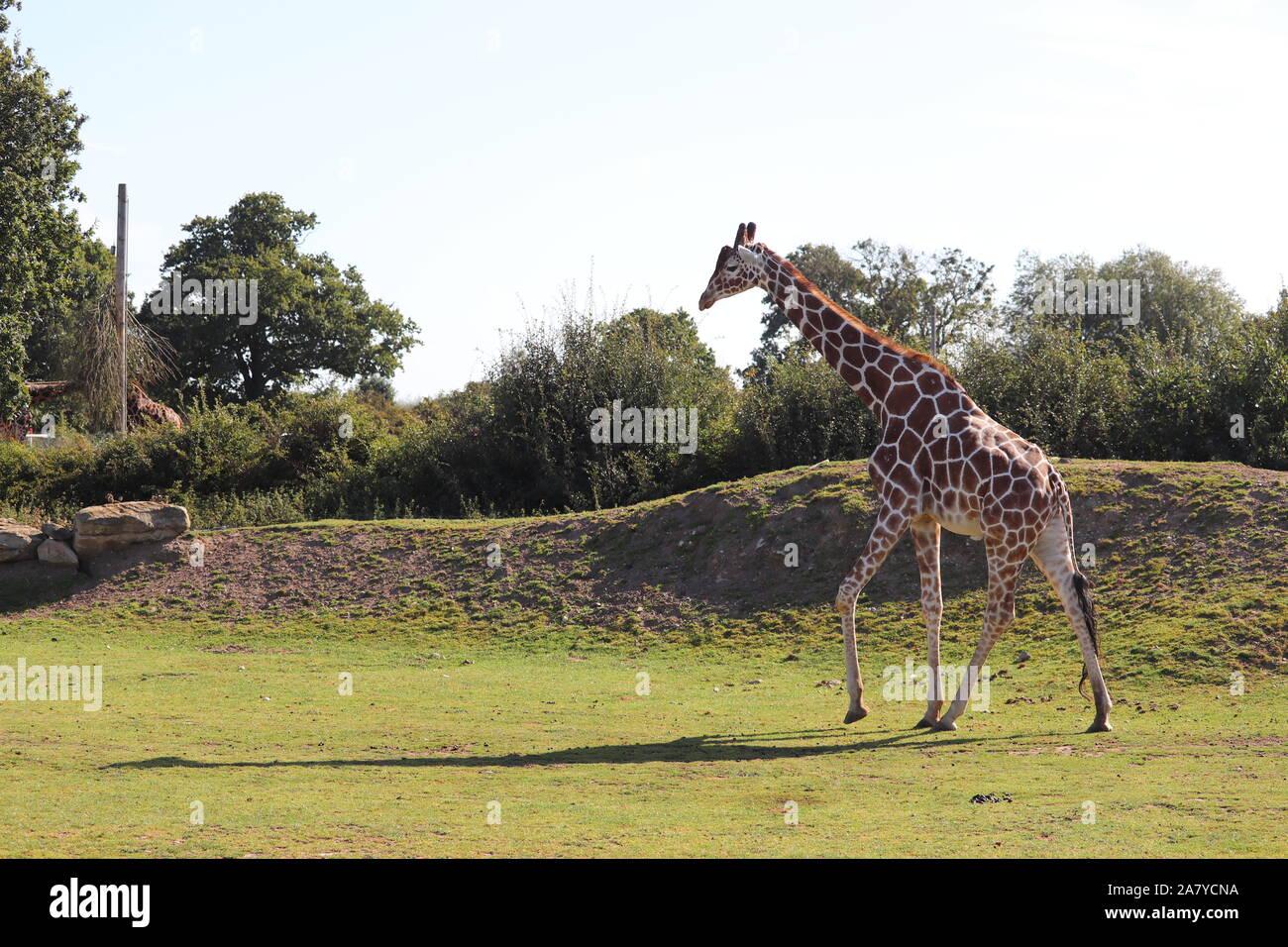 Maschio giraffa reticolata, Palle (Giraffa camelopardalis reticulata) Foto Stock