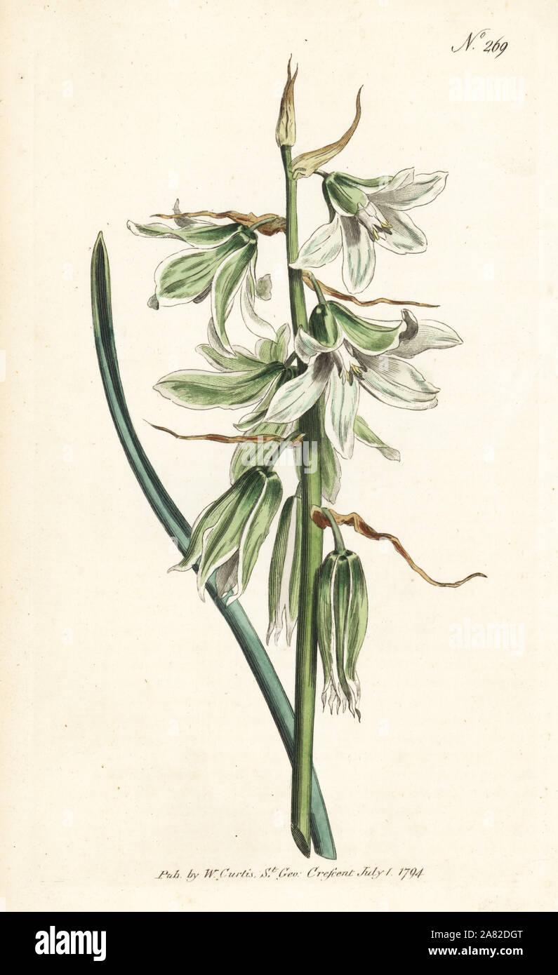 Depressione o napoletano di stella di Betlemme, Ornithogalum nutans. Handcolored incisione su rame da William Curtis' rivista botanica, Londra, 1794. Foto Stock
