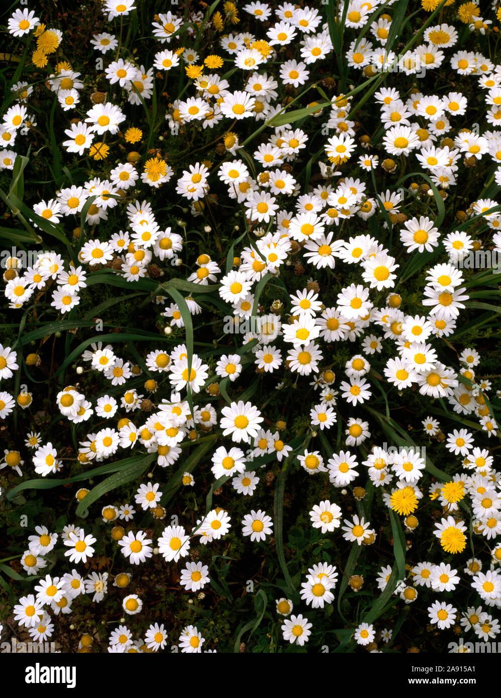 Close up di patch di bianco chysanthemum annuale. Foto Stock