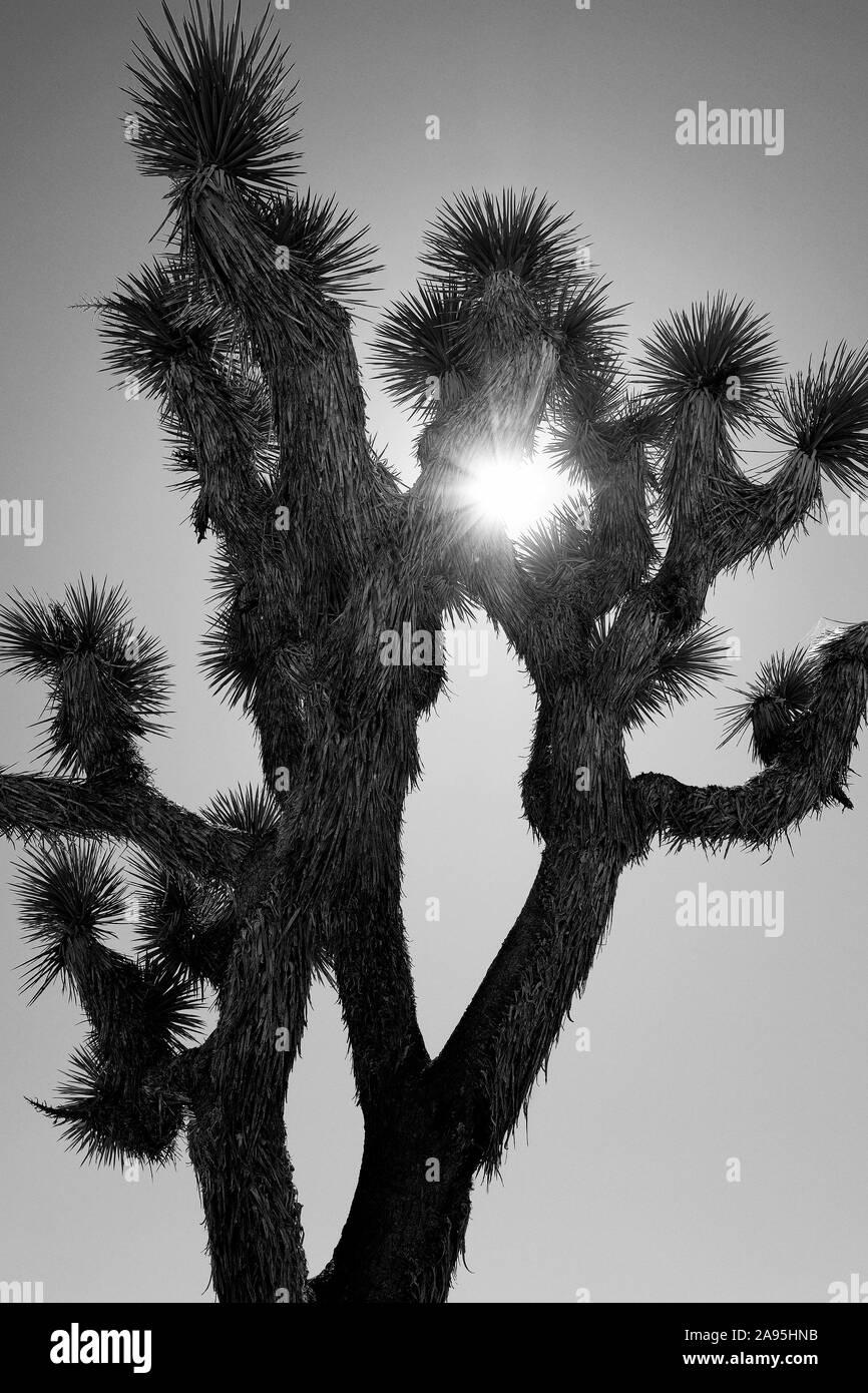 Joshua Tree National Park, California, Stati Uniti d'America Foto Stock