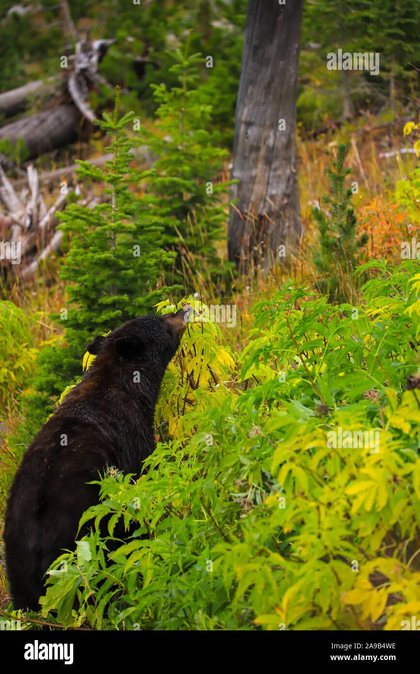 Orso nero nella foresta in autunno il Parco Nazionale di Yellowstone Foto Stock