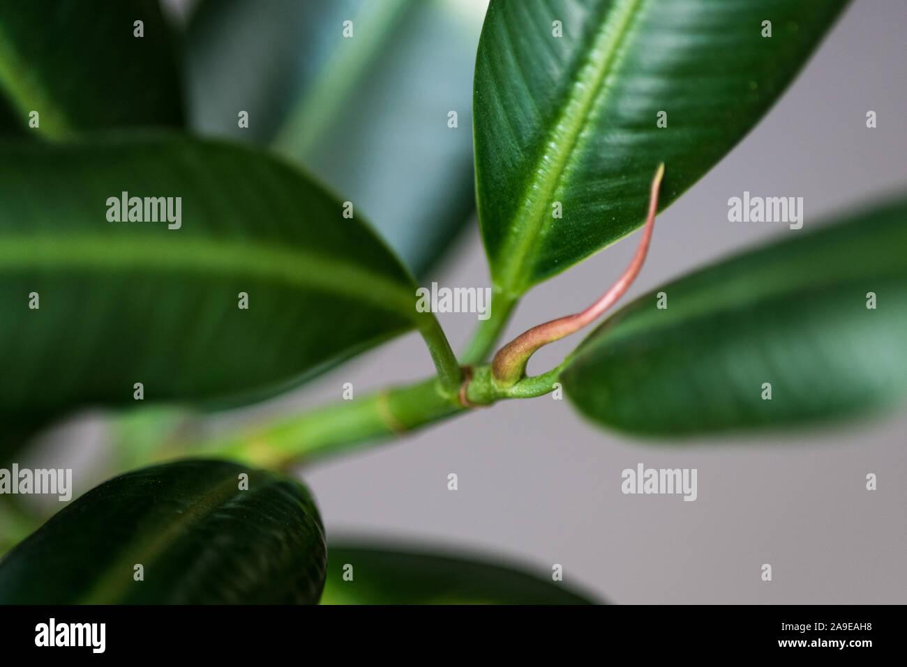 Potare Il Ficus Elastica weeping ficus immagini & weeping ficus fotos stock - alamy