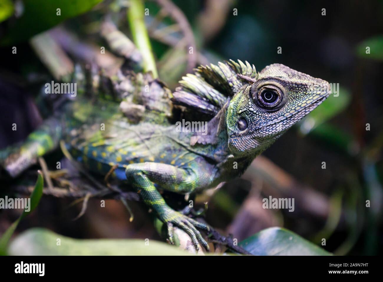 Grande angolo testa lizard Gonocephalus grandis rettile macro immagine Foto Stock