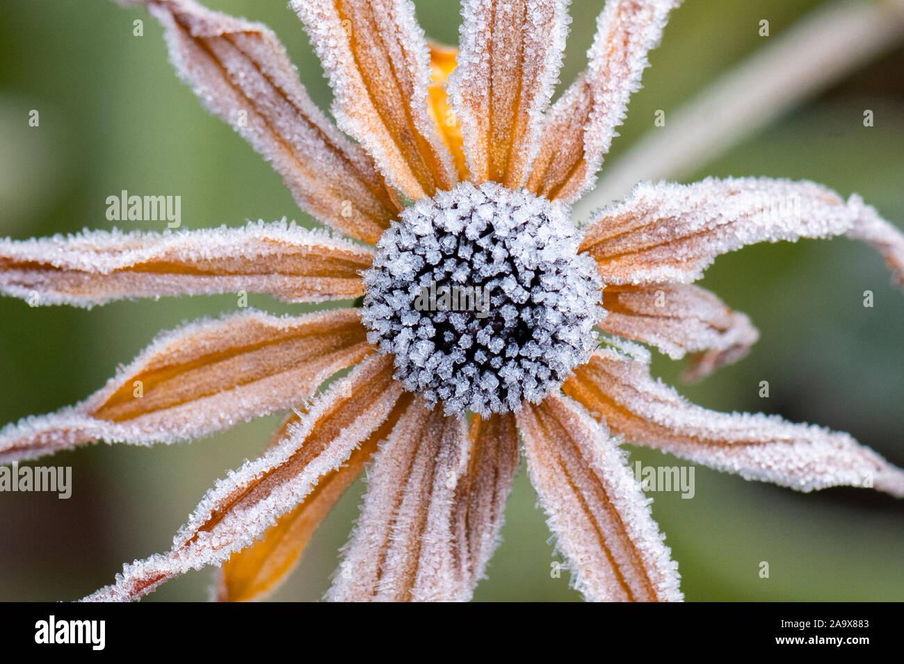 Smerigliati rudbeckia fiore Foto Stock