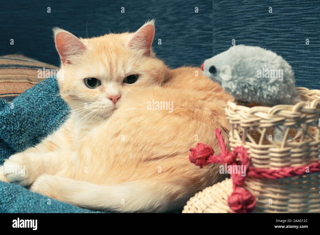 Carino crema tabby cat giace su un plaid blu accanto a un avvio di vimini e un giocattolo mouse. Foto Stock