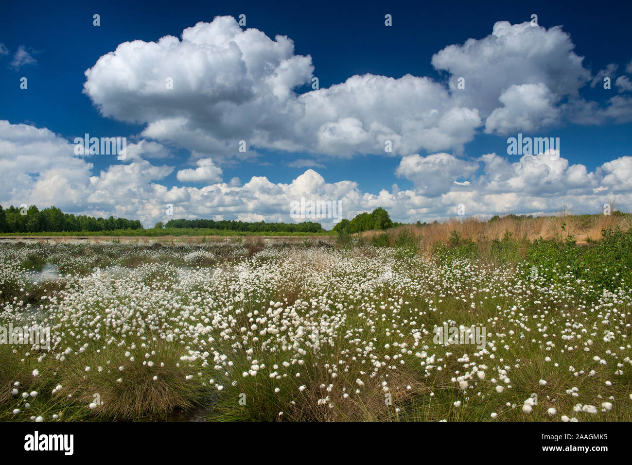 Fruchtstand des Wollgrases Foto Stock