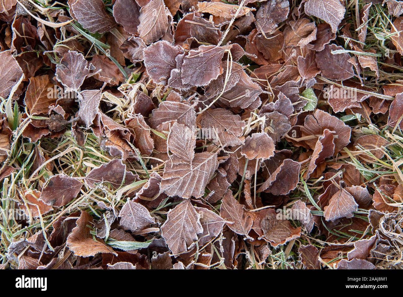 Foglie di faggio sul pavimento coperto di brina trasformata per forte gradiente su un tardo autunno mattina. North Yorkshire, Regno Unito. Foto Stock