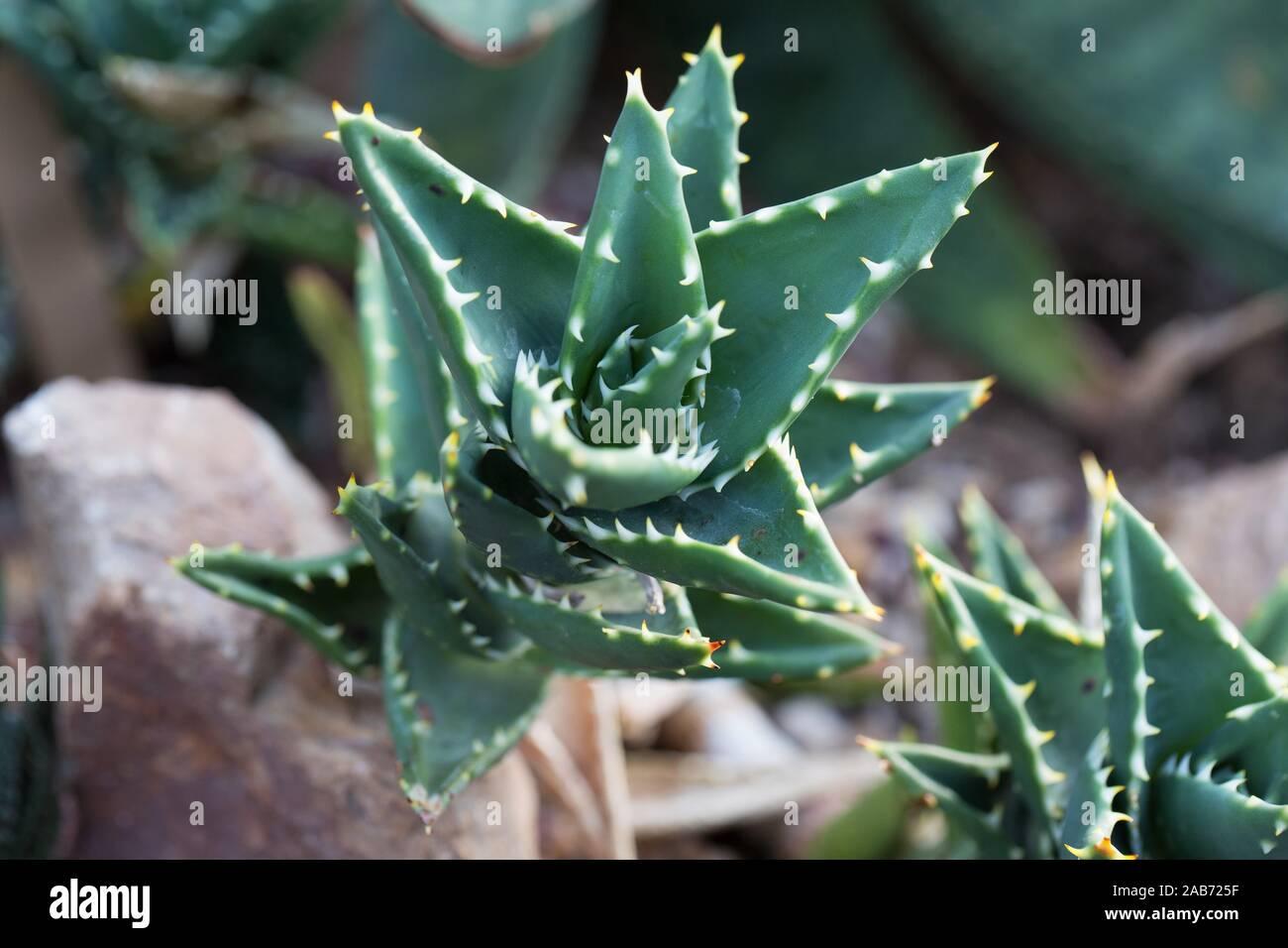 Aloe In Giardino giardino di aloe immagini & giardino di aloe fotos stock - alamy