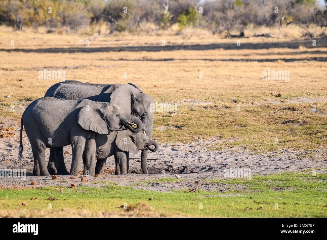 Mandria di Elefante africano, Loxodonta africana, in un buco d'acqua, Macatoo, Okavango Delta, Botswana Foto Stock