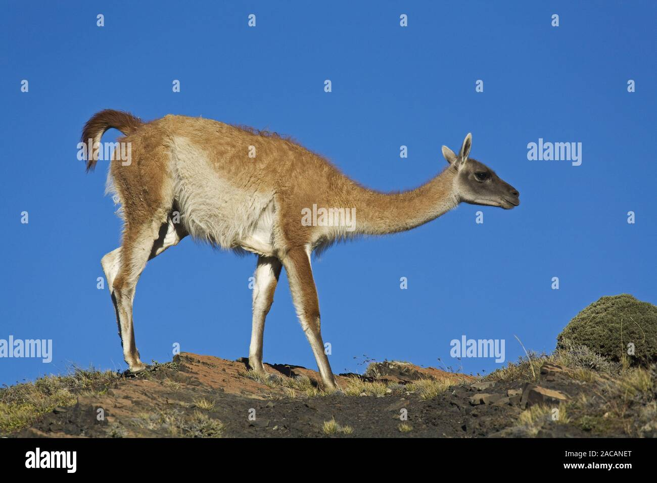 Il guanaco in np Torres del Paine, Patagonien, Cile Foto Stock
