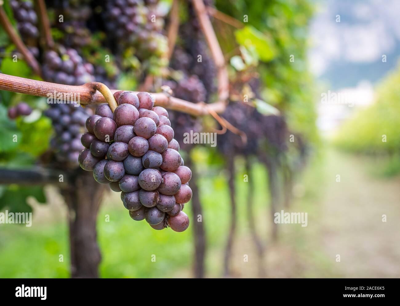 Pinot Grigio Grapes Immagini e Fotos Stock - Alamy