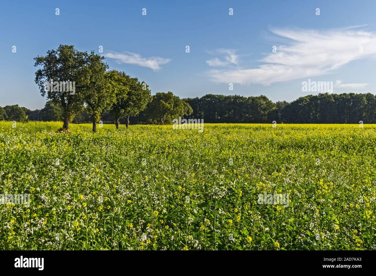Senape nera (Brassica nigra) Foto Stock