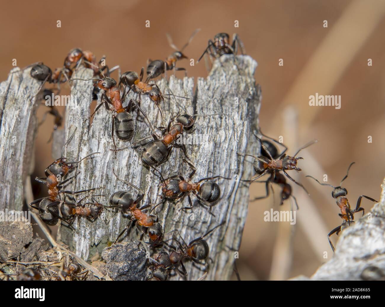 In legno rosso 'ant formica rufa' Foto Stock