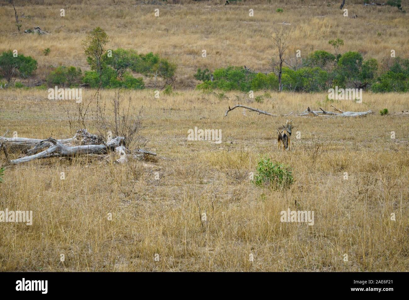 Wild sciacalli nel parco nazionale di Kruger a Mpumalanga in Sudafrica Foto Stock