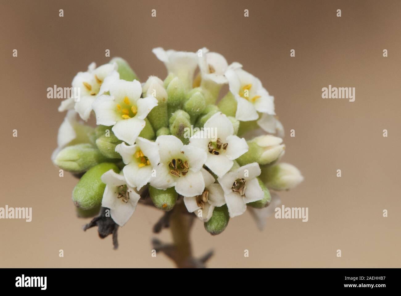 Fiori Bianchi Macchia Mediterranea.Daphne Gnidium Immagini Daphne Gnidium Fotos Stock Alamy