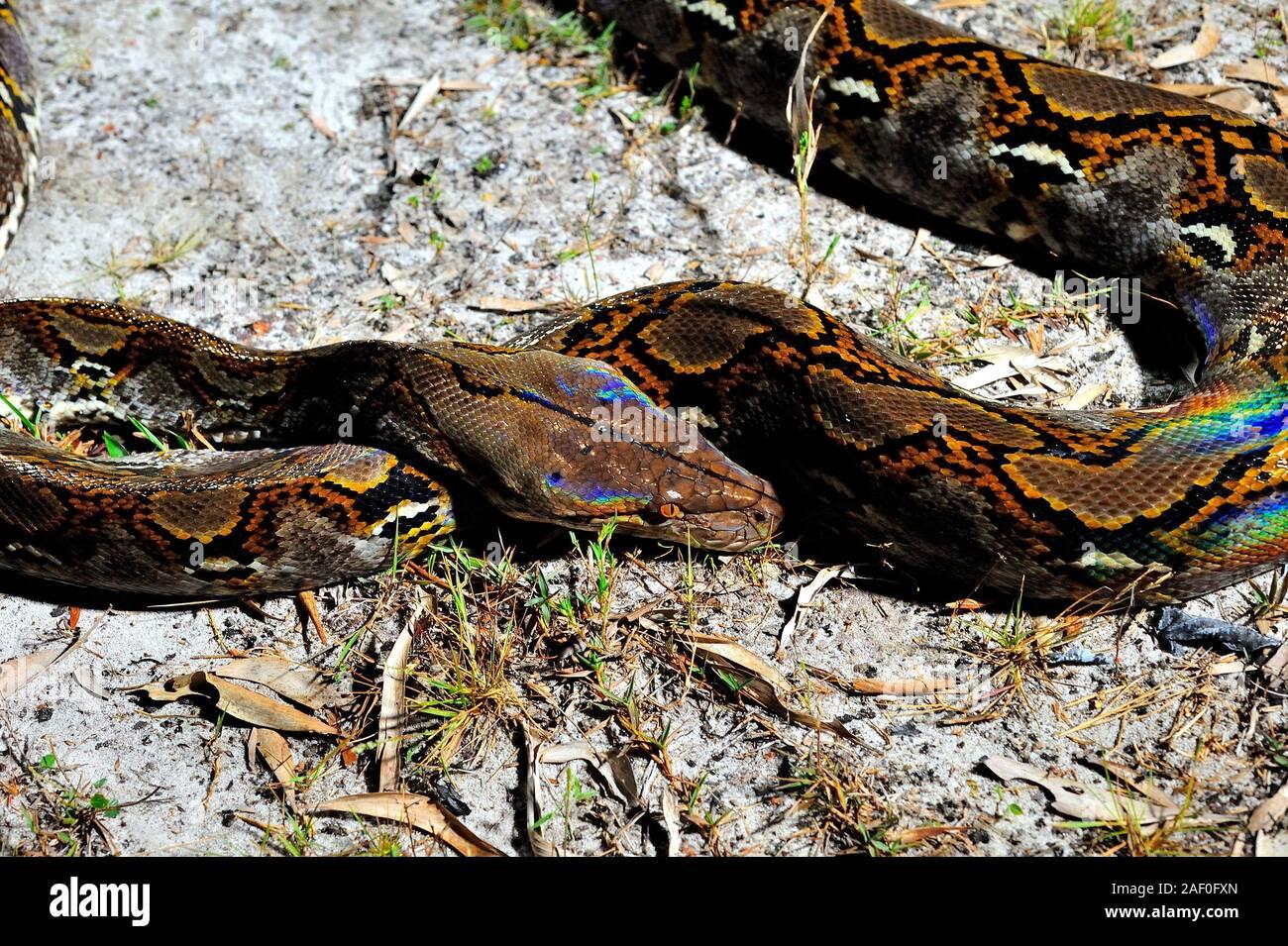 Un Bornean (Python Python breitensteini), fingendo di essere in letargo, improvvisamente molto attivo, Brunei, Borneo Foto Stock