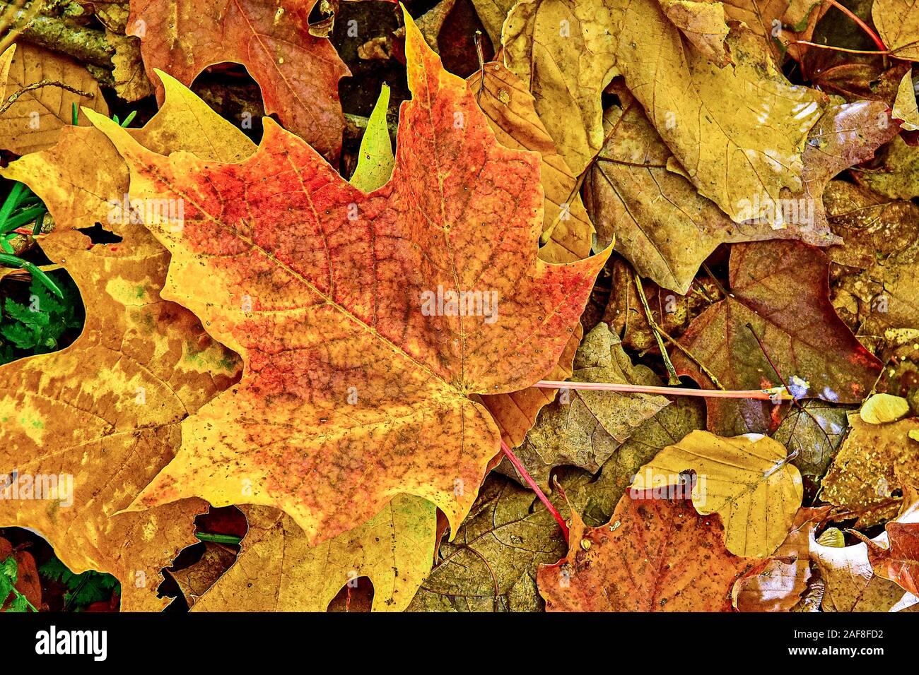 America Canada Quebec, il Parc National de La Mauricie fogliame, alberi e la natura in autunno - Foglie Foto Stock